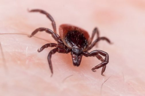 This creepy crawler is spreading more disease than ever